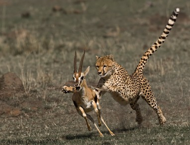 Cheetahweb
